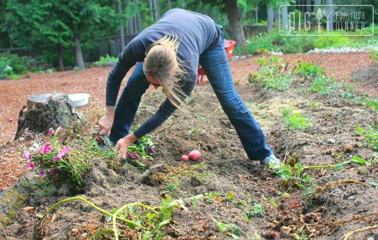 How To Grow Potatoes Like A Rockstar Dig For Your Dinner