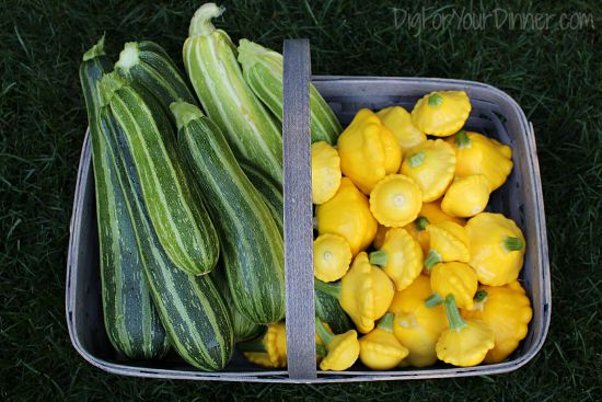 Planting Guide – Starting Zucchini from Seed