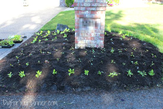 Planting Edibles in the Front Yard. Imagine That!