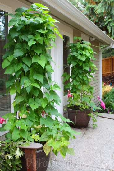 Planting Guide Starting Green Beans From Seed Dig For