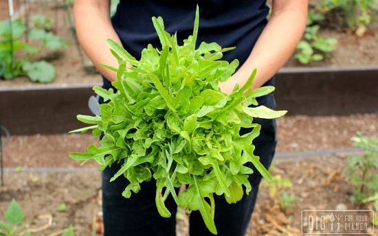 Planting Guide – Starting Lettuce from Seed