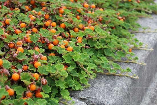 A Hillside of Creeping Raspberry