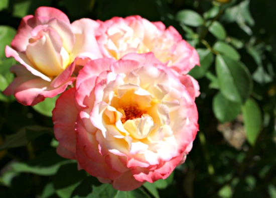 Reader Question: Spotted Roses