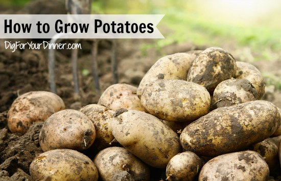 How to Grow Potatoes Like a Rockstar