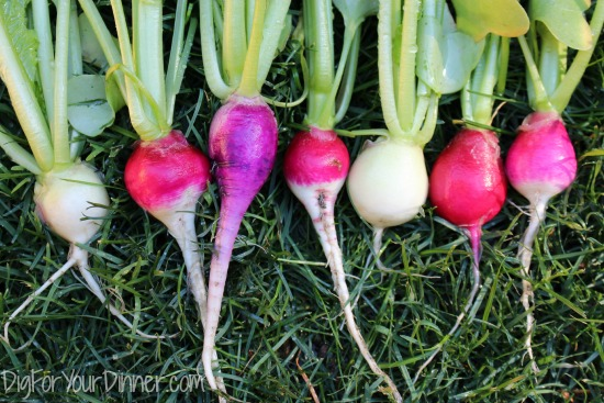 Planting Guide – Starting Radish from Seed