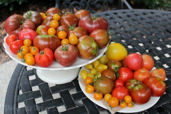 Two Season Tomato Plants?