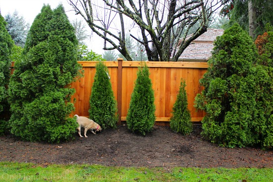 Filling in the Arborvitae Hedge