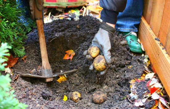 Dig For Your Dinner – Fall Potatoes
