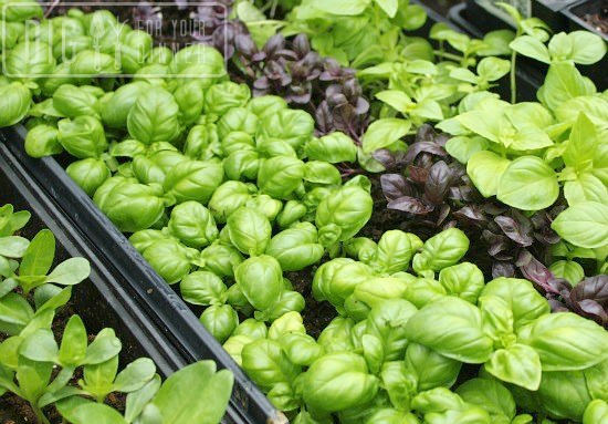 Planting Guide – Starting Basil from Seed