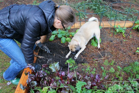 Lucy the Puggle Dog Digs For Potatoes