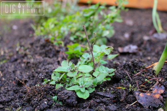 Transplanting Oregano and Stealing Mulch