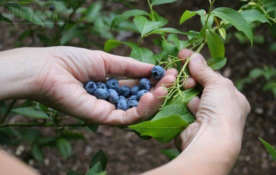 Reader Question:  Blueberries