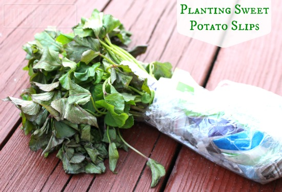 Planting Guide – Planting Sweet Potato Slips