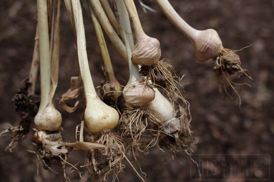 Harvesting Wild Garlic