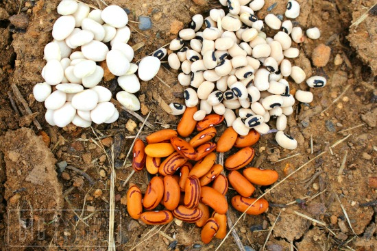 Planting Heirloom Beans, Harvesting Radishes, Pulling Weeds and More