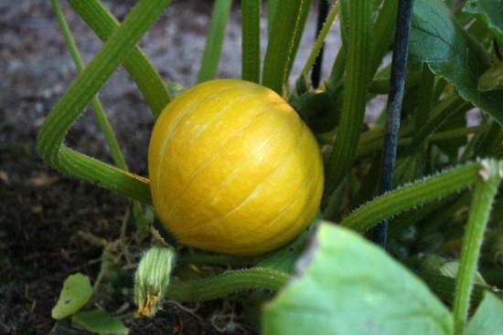The Winter Squash Report