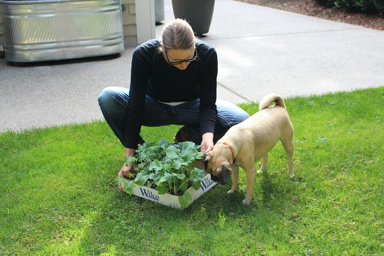 Planting Kale for a Winter Harvest